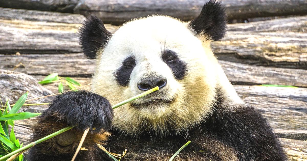 ふてぶてしいパンダ